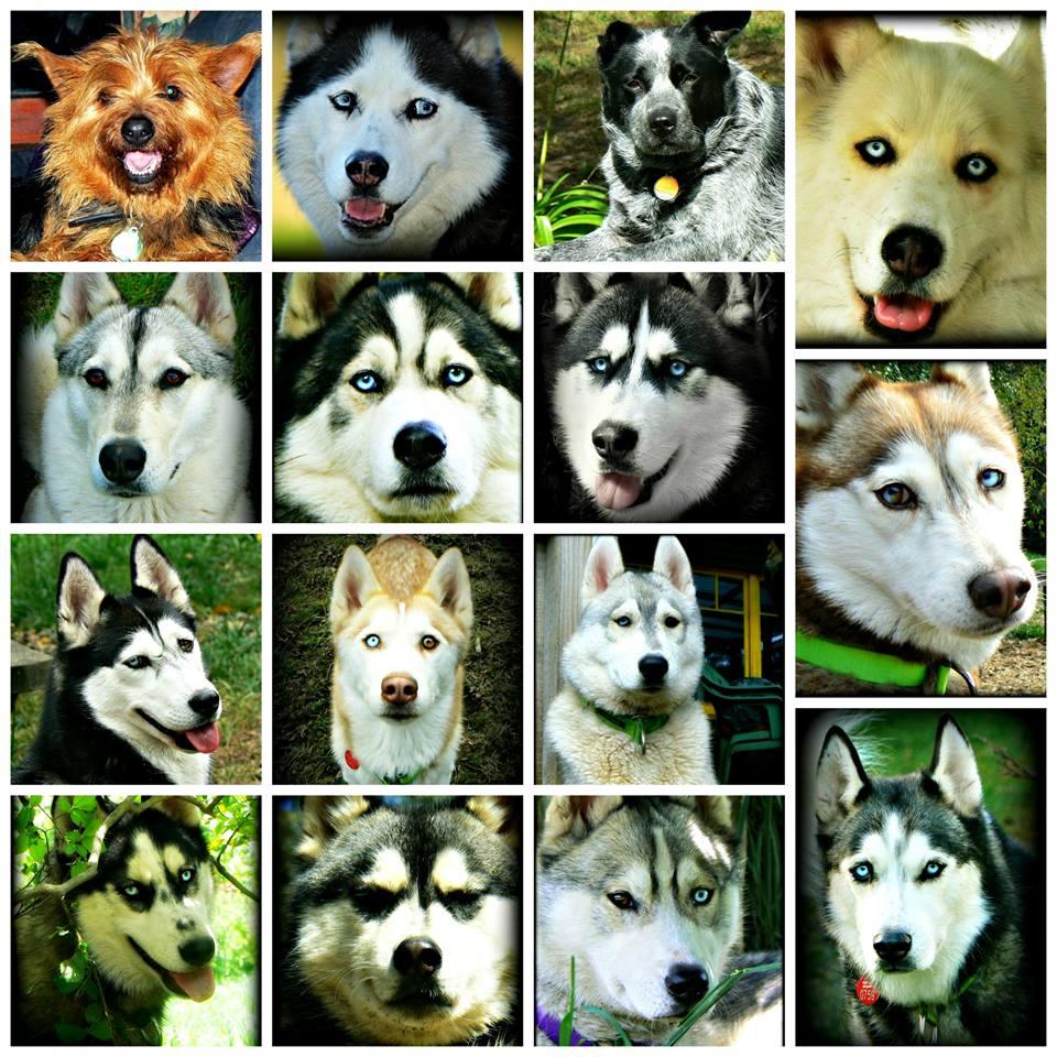 Alcuni dei loto cani, compreso Jasper e Ally (non husky)