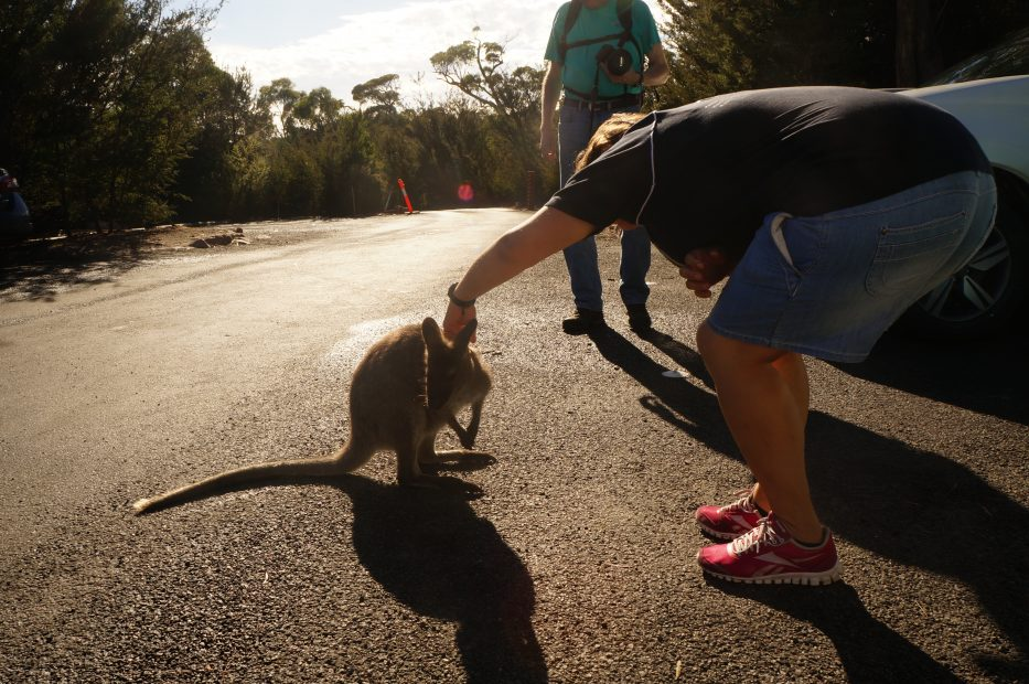 Tasmania i suoi animali più particolari vagabondainside